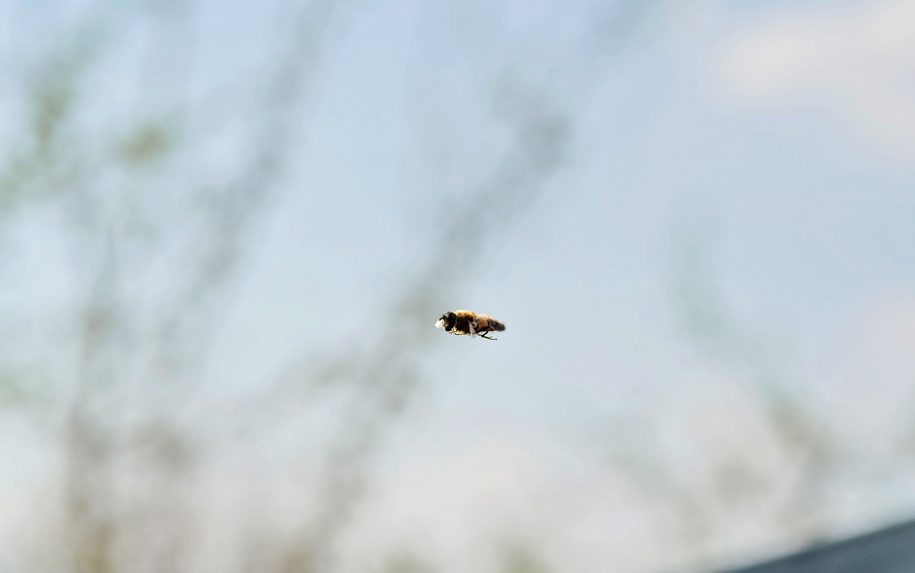 Makroaufnahme:-Action-Ein Insekt -im-Flug-Jonas-Hartz-Photography-Guetersloh-Fotografie-Insket-Makro